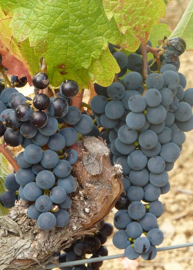priorat wine grapes